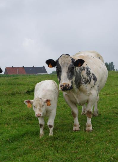 Euroclassic LKRT 2014 - Vaches